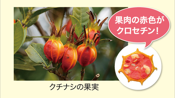 果肉の赤色がクロセチン! クチナシの果実